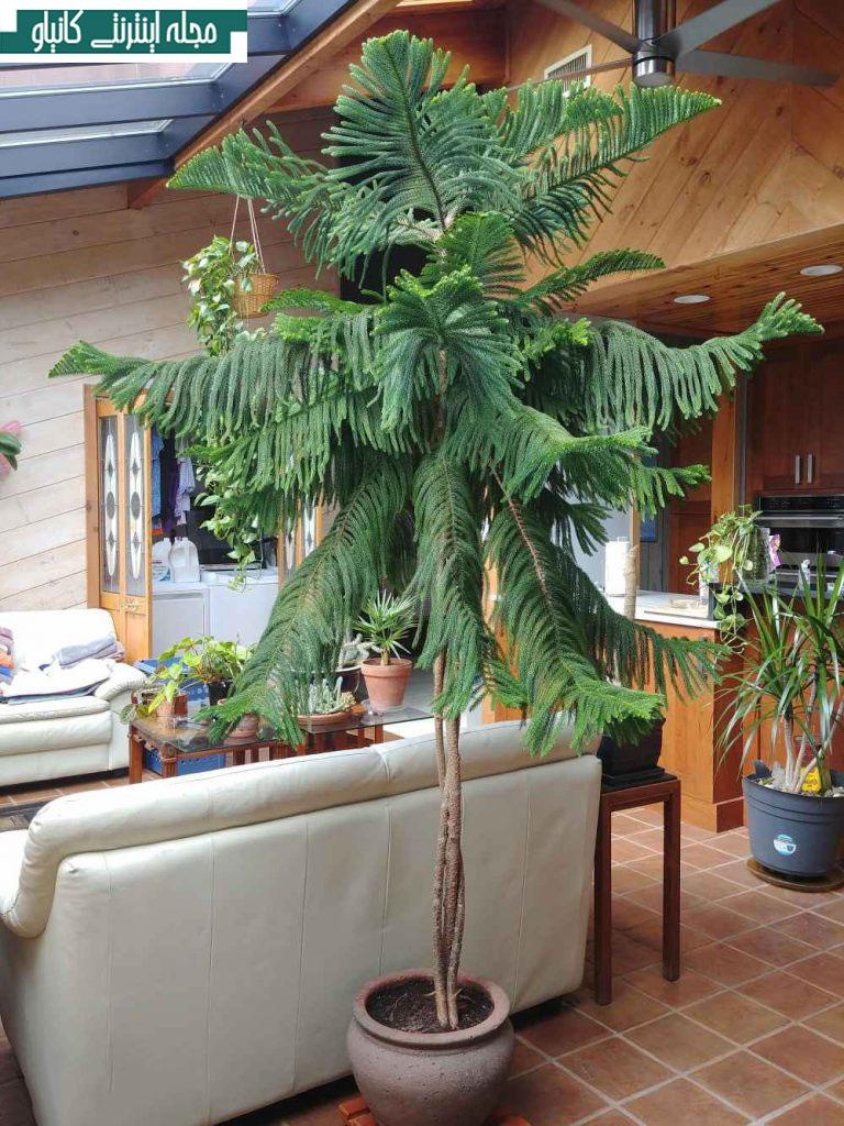 گیاه آپارتمانی کاج جزیره نورفولک