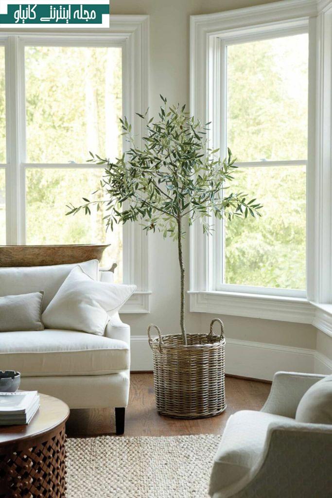 پرورش درخت زیتون در آپارتمان